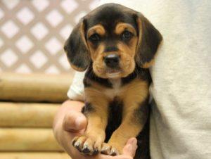beagle lab