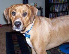 Beagle Boxer Mix Dog