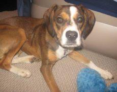 Boxer-Beagle-Mix