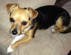 Cheagle Dog